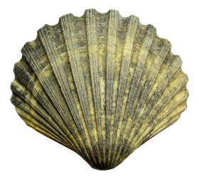 Sea Shell PNG