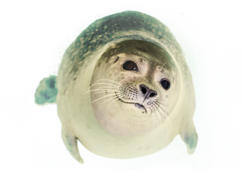 Seal Swimming PNG