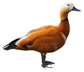 Shelduck PNG