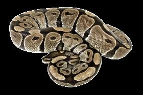 Snake PNG