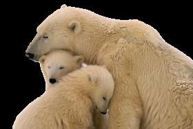 Snow Bear PNG