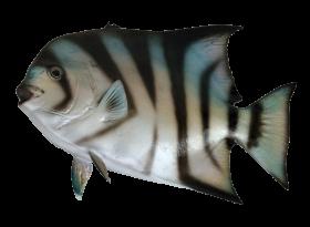 Spadefish PNG