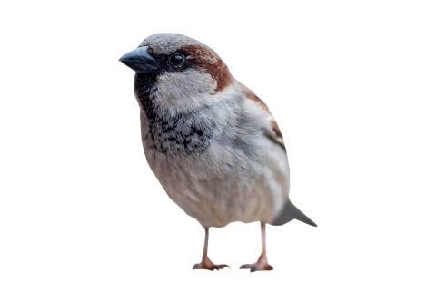 Sparrow Standing PNG