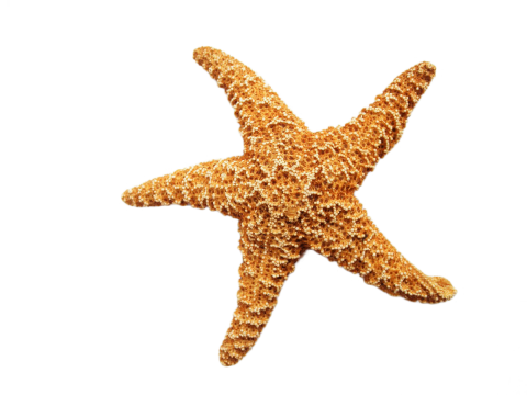 Starfish Dried PNG