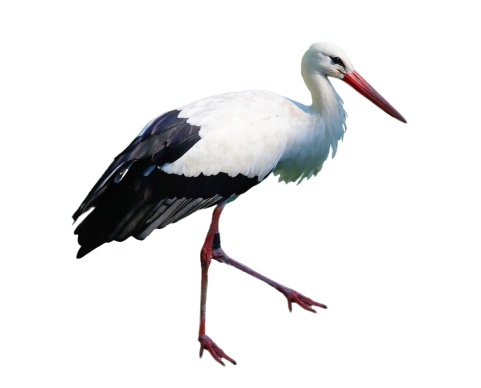 Stork Standing PNG