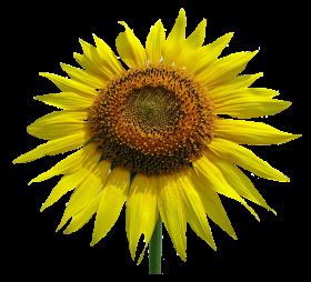 Sunflower Flower PNG