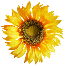 Sunflower PNG