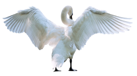 Swan Starting Fly PNG