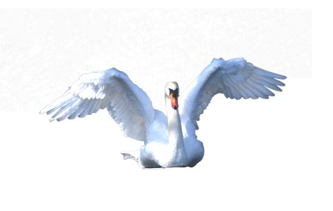Swan Swimming PNG