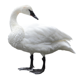 Swan White PNG