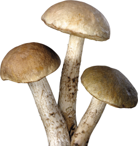 Three tree Mushrooms PNG