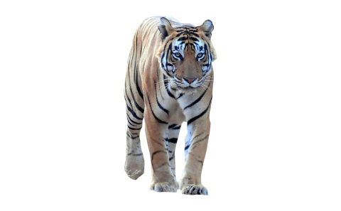 Tiger Walking Frontal PNG