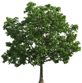 Tree with Leaves PNG