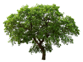 Big Green Tree PNG