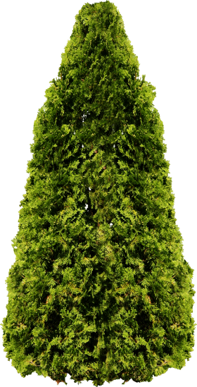 Big Fir Tree PNG