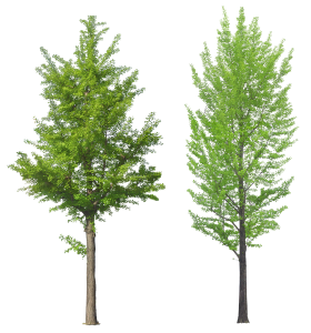 Leafy Trees PNG