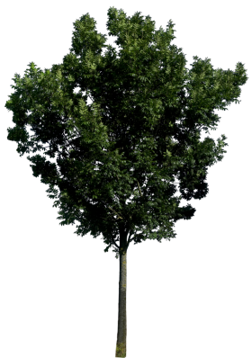 Large Tree with Leaves PNG