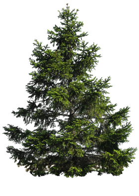 Fir Nature PNG