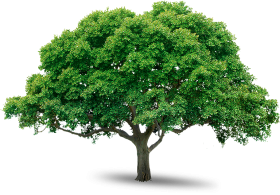 Wide Large Tree PNG