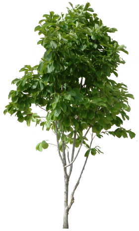 Plant Wood Tree PNG