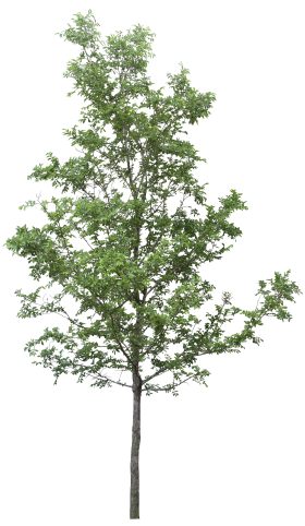Forest Tree PNG