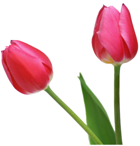 Tulip PNG