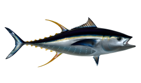Tuna Fish PNG