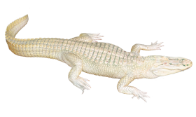 White Crocodile PNG