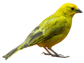 Yellow Bird Standing PNG