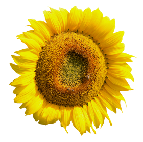 Yellow Sunflower Flower PNG