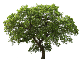 Wooden Tree with Leaf PNG