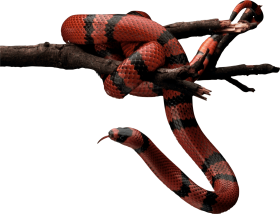 Red and Black Snake on tree PNG