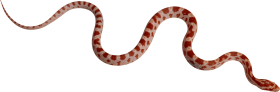red Snake PNG