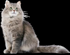 Siberian Cat PNG PNG