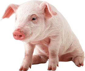 sitting baby pig PNG