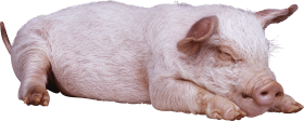 sleeping pig PNG