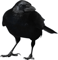 Standing Crow PNG