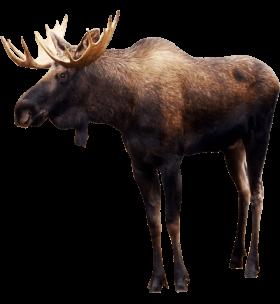 Standing Elk PNG