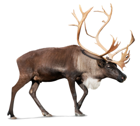 Standing Moose PNG