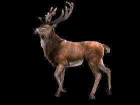 Standing Moose Render PNG