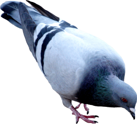 Street Pigeon PNG