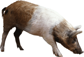 striped ping brown pig PNG