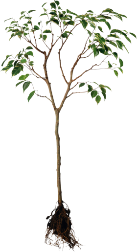 Tree with Root PNG
