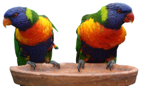 Two Multi Colors Parrots PNG