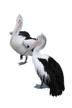 Two Pelicans PNG