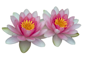 Water Lilies PNG