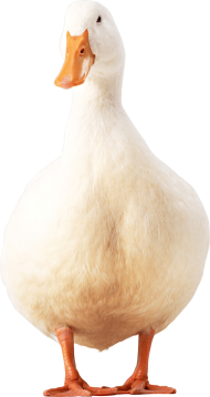 white duck PNG