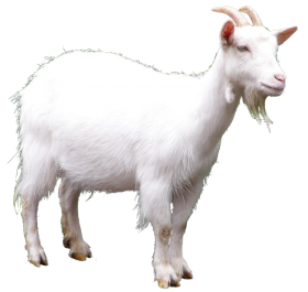 white goat PNG