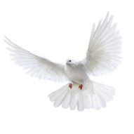 White Pigeon flying PNG