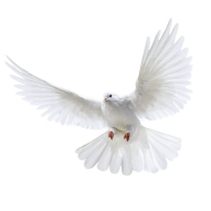 White Pigeon Realisitc PNG